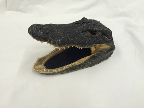 Image file: 'alligator head'
